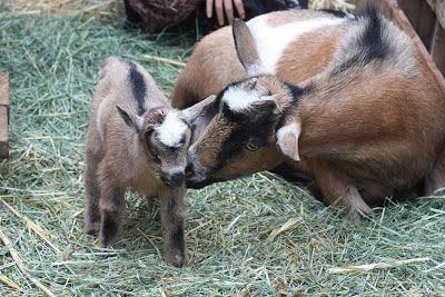 Goatvet Likes This Post About Keeping Goats In Your Urban