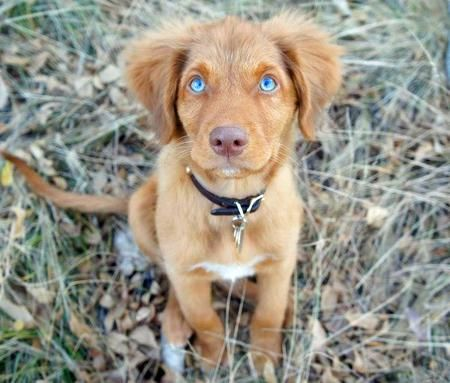 Ruddy the Duck Tolling Retriever-WOW! Look at those fabulous blue eyes! Gorgeous!