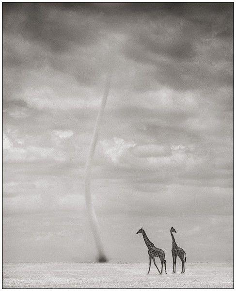 Giraffes with Dust Devil, Amboseli 2007 Nick Brandt: Call Giraffes, Photography Office, Brandt Photography, 2007 Nick, Book, Girafe, Wildlife Photographers, Earth, Monochrome Photos