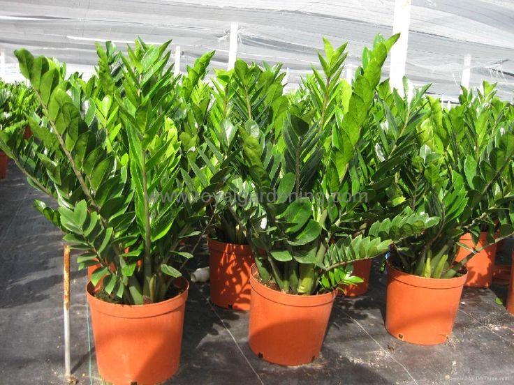 Zamioculcas_zamiifolia.jpg