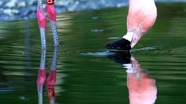 - Flamingo é visto em uma lagoa no jardim zoológico de Duisburg, na Alemanha. Foto: Monika Skolimowska / AFP