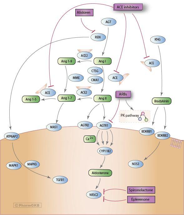 Agents Acting on the Renin-Angiotensin System Pathway, Pharmacodynamics