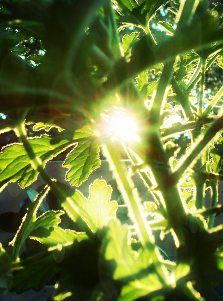 Pelargonium odoratissimum Citromillatú muskátli