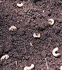 Control White Grubs