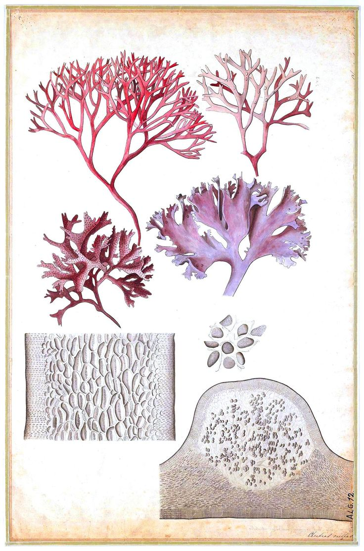 floridian chart in botany: 30 best seaweed illustrations images on pinterest seaweed
