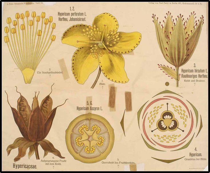 196002 Hypericum perforatum L. / Peter, A., Botanische Wandtafeln, t. 70, fig. 1,2 (1901)