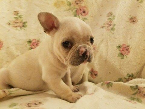 French Bulldog puppy for sale in HOUSTON, TX. ADN-62054 on PuppyFinder.com Gender: Male. Age: 14 Weeks Old