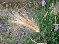 Image result for foxtails weed