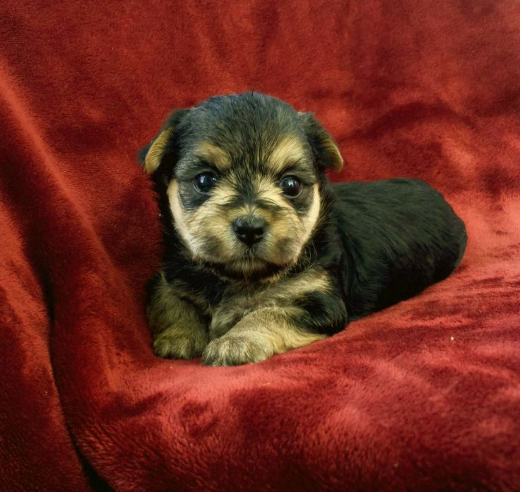 Clover the Morkie Puppy for Sale