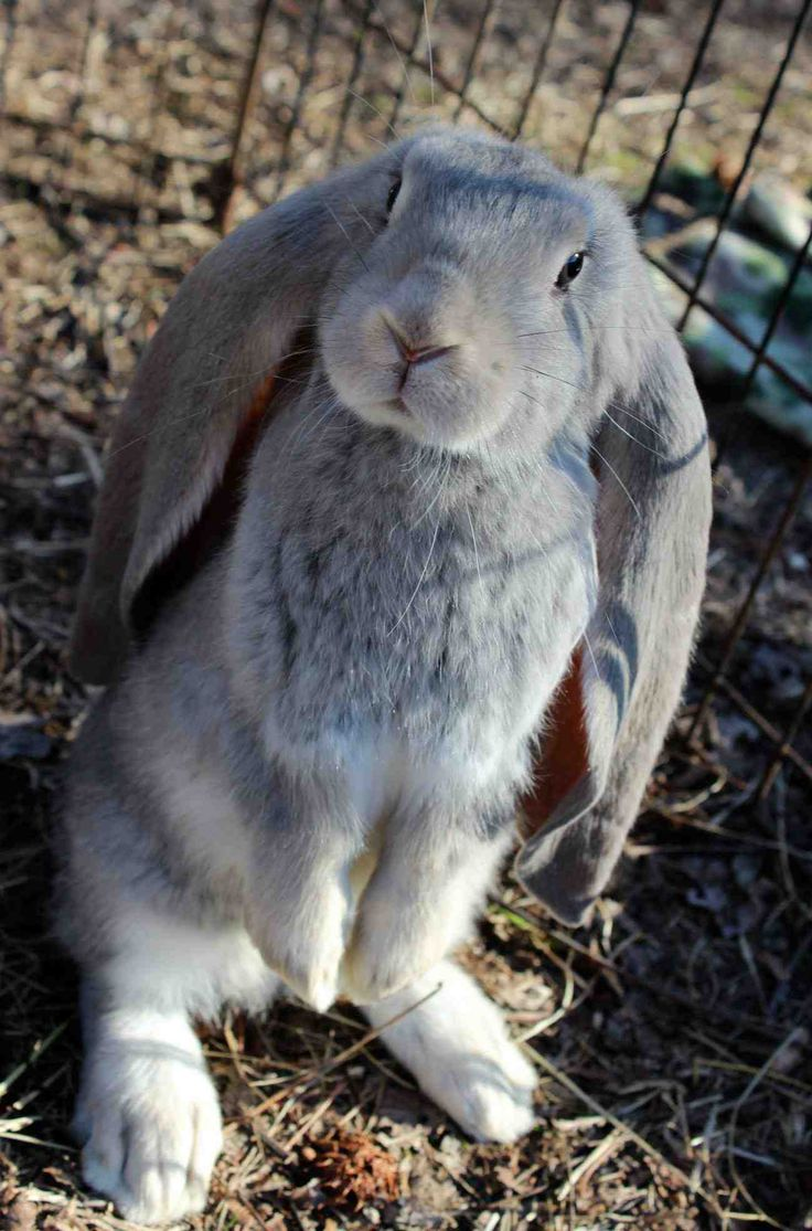 I can almost see the nose about to twitch <3  (This is an English Lop)