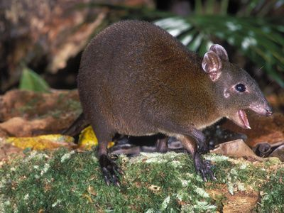 Musky Rat-Kangaroo (Hypsiprymnodon Moschatus), Queensland, Australia