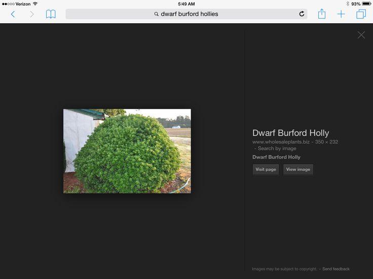 Dwarf Buford Holly