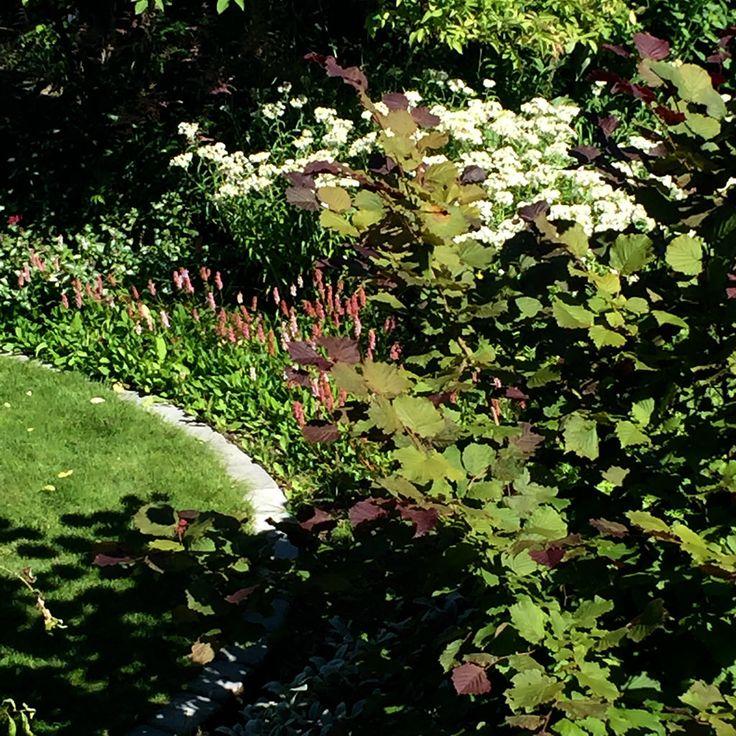 Bergsormrot, pärleternell, krysantemum, rödhassel. Bistorta affinis, Anaphalis margaritacea, Chrysanthemum Zawadskii (Rubellum), Corylus maxima 'Purpurea'