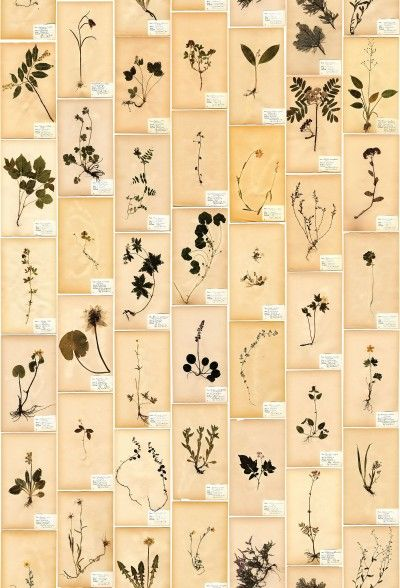 Garden Party (3482) - Boråstapeter Murals - A wall mural made up of antique images of herbs and plants with botanical labels. Multi coloured with sepia tones. Total mural size is 265cm high x 180cm wide - supplied in 4 lengths each 45cm wide. Unfortunately, samples are unavailable.  Paste the wall.