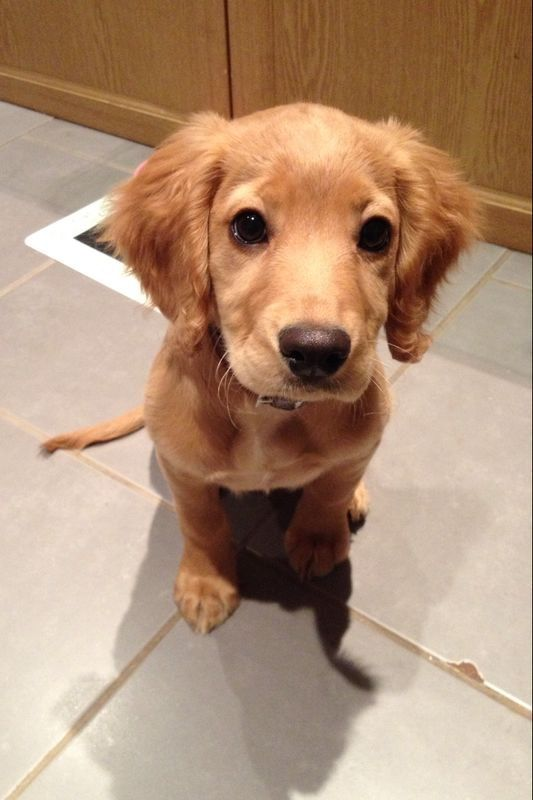 Cocker spaniel puppy - golden working cocker spaniel - cute puppy - Luna