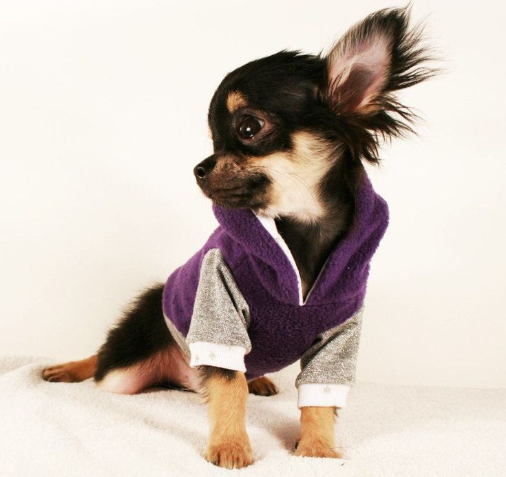 aaaaaand this is why i love chihuahuas