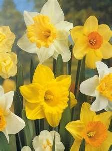 Beautiful Flower, Spring Flower, Favorite Things, Gardens, Daffodils, Flower Beds, My Birthday, Pink Flowers-Yachao, Favorite Flower