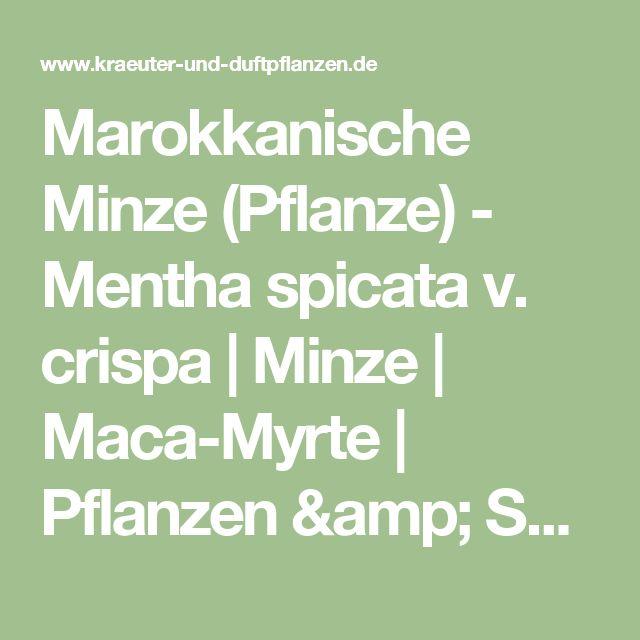 Marokkanische Minze (Pflanze) - Mentha spicata v. crispa |    Minze |   Maca-Myrte |   Pflanzen & Saatgut | Rühlemann's Kräuter und Duftpflanzen