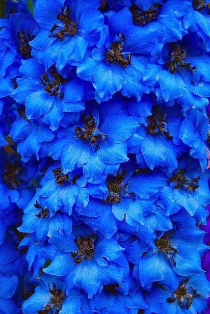 Blue delphiniums Beautiful gorgeous pretty flowers