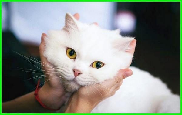 Unduh 61+  Gambar Kucing Anggora Lucu Paling Lucu