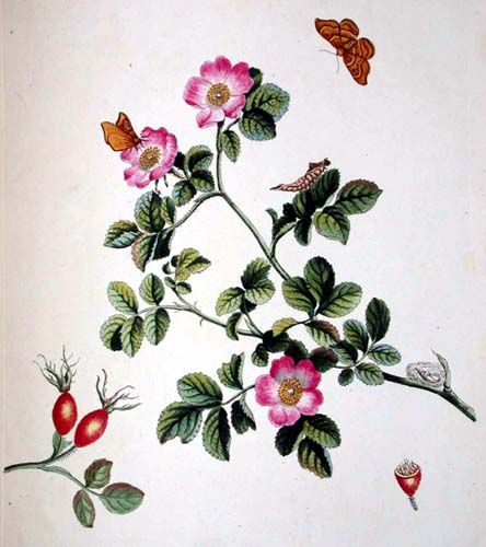 wild rose drawings - Google Search