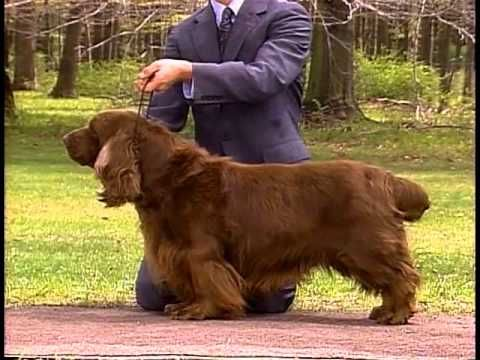 Sussex Spaniel - AKC Dog Breed Series - YouTube
