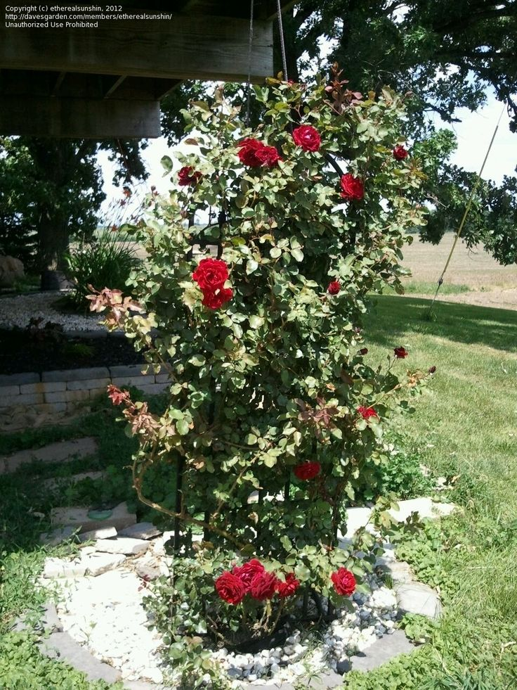 Full size picture of Large Flowered Climbing Rose 'Don ...