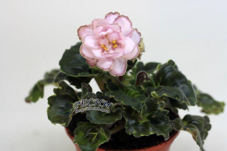 РС-Каролина Махровые и полумахровые светло-розовые цветы с тонкой вишнёвой крапчатой каймой и коричневато-зелёной каёмочкой очень необычны на фоне тёмно-зелёной гёрл-листвы. Розетка малый стандарт.