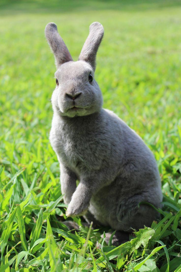 best 20 rex rabbit ideas on pinterest black bunny pretty