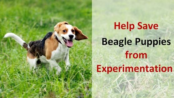 Taiwanese Government: Cancel plans to expose unvaccinated beagle puppies to the rabies virus!