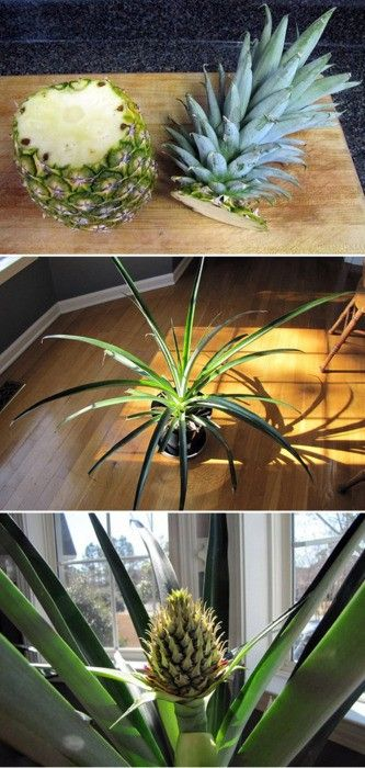 "1. Cut the top of the pineapple off (leave 1""of flesh below the greenery. Pull off some of the leaves from the bottom, so leaves at the base will not be sitting in water.      2. Place the top in a dish of water (bottom half of the flesh submerged- 1/2""). You can also submerge the bottom half in a jar (leaves balance it). Don't let the leaves touch the water.      3. Once roots have appeared, plant in soil (cover roots and bottom part of fruit).      4. Water twice a week straight down the…"