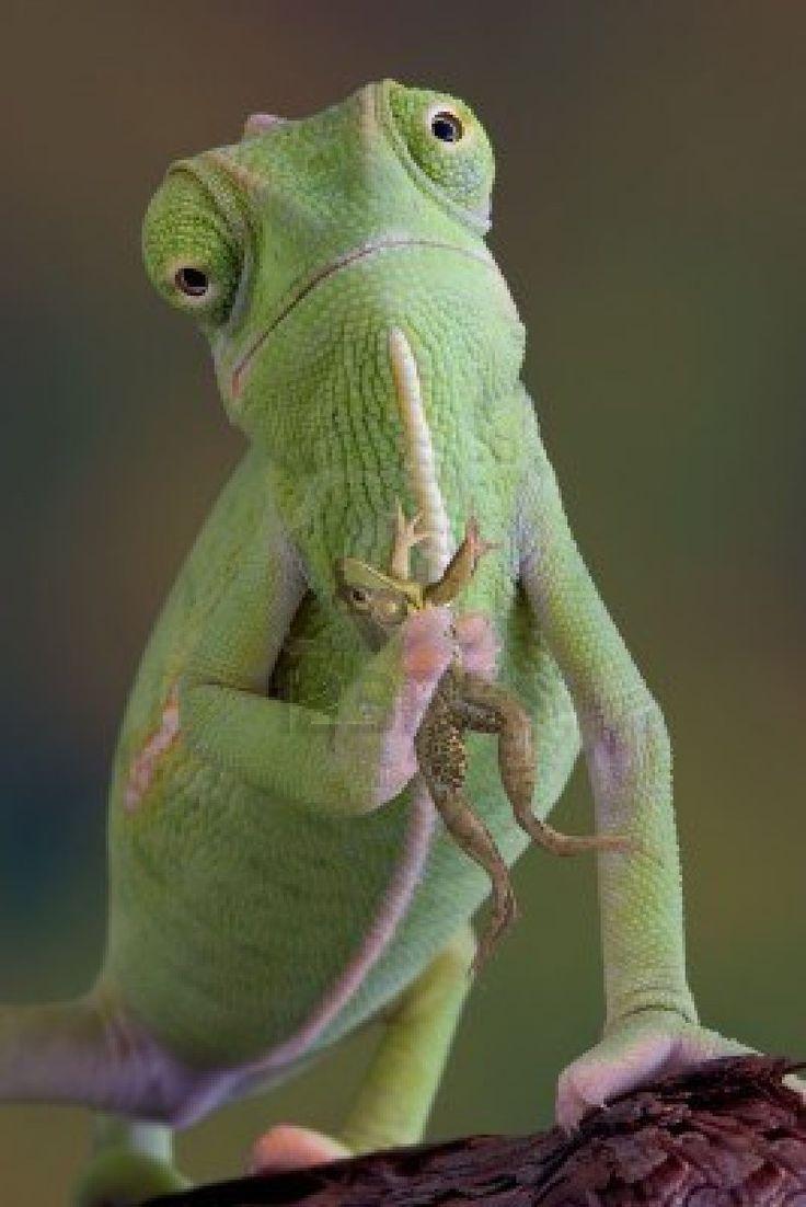 Veiled chameleon holding a frog.