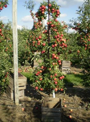 Awe Inspiring Best 10 Apple Plant Ideas On Pinterest Planting Apple Trees Easy Diy Christmas Decorations Tissureus