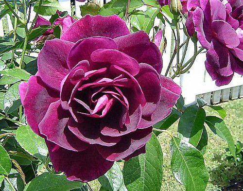 "Burgundy Iceberg Rose - Deep Purple, Mildly Fragrant - 4"""" Pot"