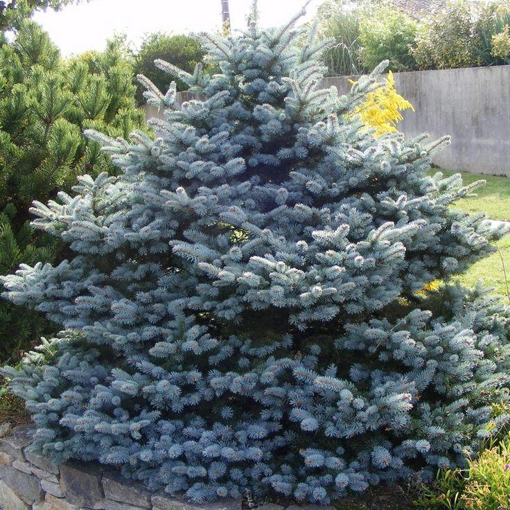 Picea pungens 'Koster' - Epicéa du Colorado - Sapin bleu