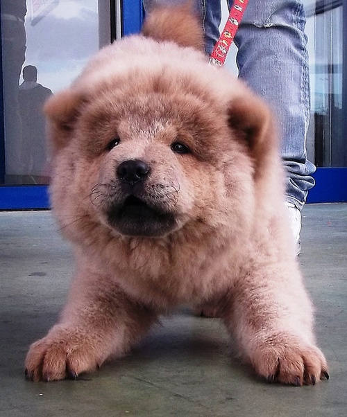 Dog Breed That Looks Like A Rug: 204 Best Images About Big Fluffy Chow Chows On Pinterest