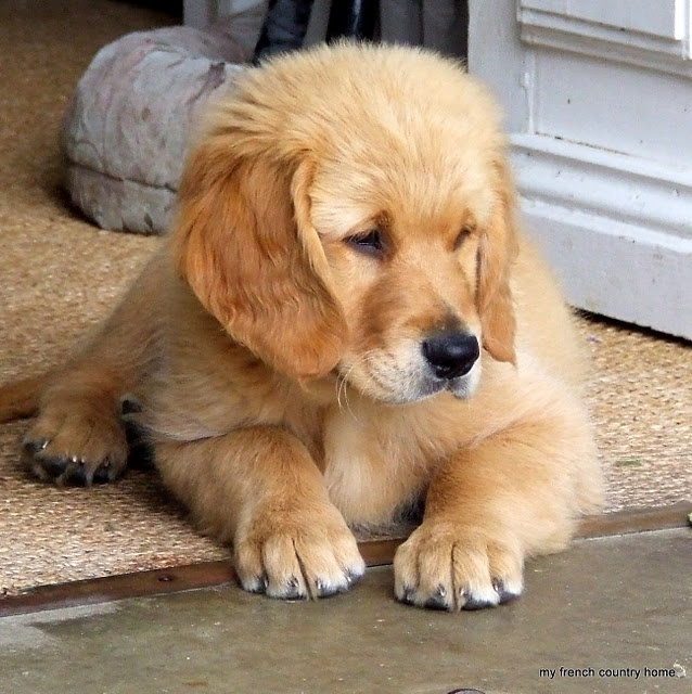Too ADORABLE!!!!! <3Warm Puppies, French Country Homes, Dogs, Animal Kingdom, Weekend Puppies, Puppy'S, Warm Heart, Baby Golden, Golden Retriever