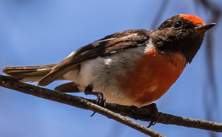 Red-capped Robin - Wollar Rd