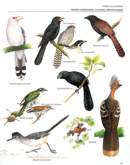 Channel billed cuckoo, Common koel, Pheasant coucal, Groove billed ani, Hoatzin, Greater roadrunner, Dideric cuckoo.........clockwise from upper left corner.....via My Sunshine Vintage on ETSY