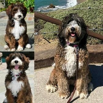 sable Bernedoodle adult fading | Pups | Cute puppies ...