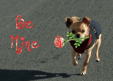 valentine's day chihuahua gif | Chihuahua Forum : Chihuahua Breed Dog Forums - Secret ...