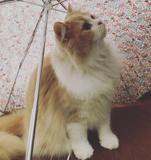 雨だね #scottishfold #スコティッシュフォールド#すこてぃっしゅふぉーるど #たちみみスコ #にゃんすたぐらむ #猫好きなのに猫アレルギー #ねこ #定春 #cat#ピクネコ#みんねこ#catstagram #cats #ilovecats #catsagram#猫好き#ねこすき#猫のいる暮らし#猫になりたい#scottishfoldworld#にゃんこ#にゃんだふるらいふ#meow #catoftheday #petstagram#ねこすたぐらむ#猫#愛猫