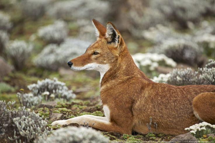Ethiopian Wolf. This is one of the world's most endangered canids with fewer than 500 individuals left on earth. Located way up in the highlands of Ethiopia, it is the only canid species to have made a home at such altitudes.