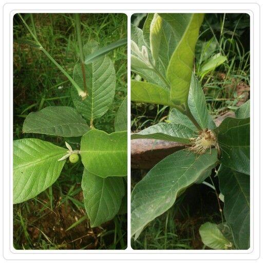 First flowers from Jambu Kristal tree