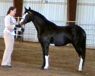 HorseID: 1802435 Kinnic Kinnic Alabaster Splash - PhotoID: 634671 -  Black Sabino Welsh Sect B mareShow Horses, Dreams Hors, Hors Classifying, Dreamhors Com View
