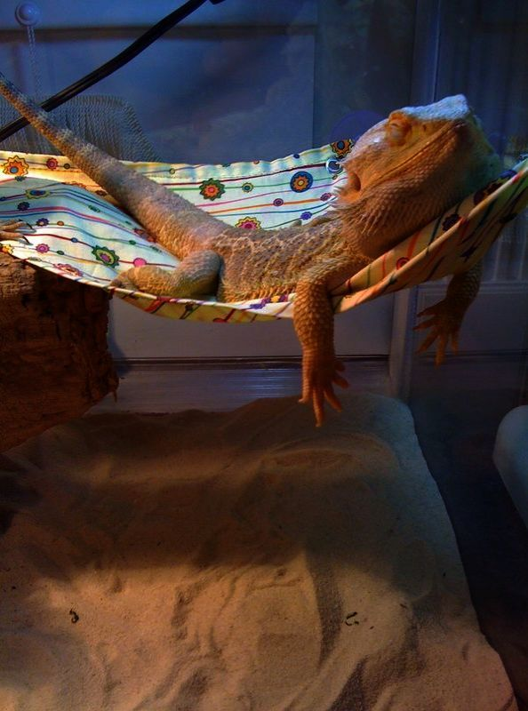 Amazing Bearded Dragon Tank For Sale With Images Bearded