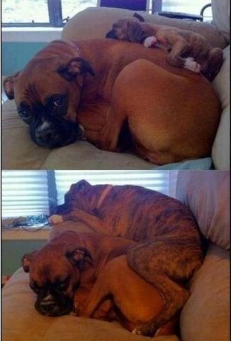 Sabéis cuando decimos que los perros no son conscientes de su tamaño ni de que crecen?  Pues eso.