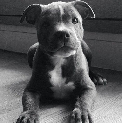 Staffordshire Terrier Pup... Who couldn't love a face like this ❤️my favorite dogs. Have had them my whole life. They are the sweetest most caring dogs ever.