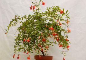 Комнатный гаранта - красивое цветущее растение, которое порадует вас своими цветками и плодами. Узнайте, как правильно ухаживать и размножать комнатный гранат.