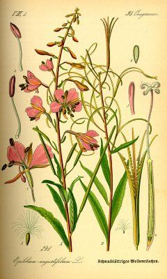 the beginnings of my fireweed tattoo idea... pics of the diff stages of the fireweed flowers